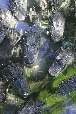 Many crocodiles in a small amount of space